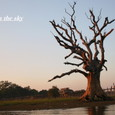 「夕日に染まる老樹」